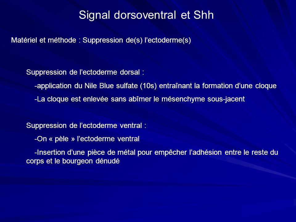 Signal dorsoventral et Shh