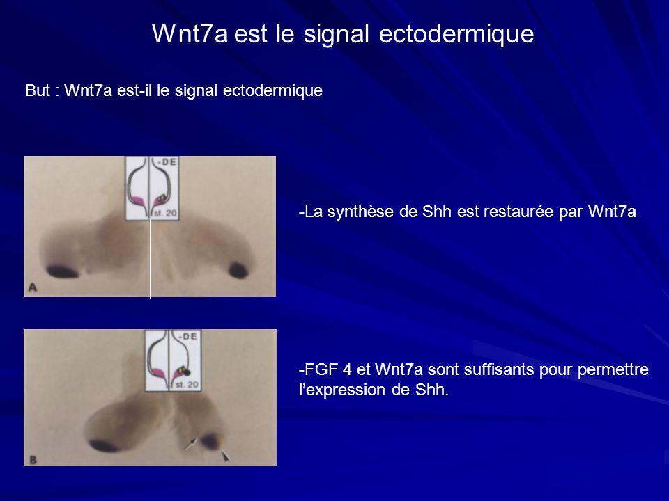 Wnt7a est le signal ectodermique