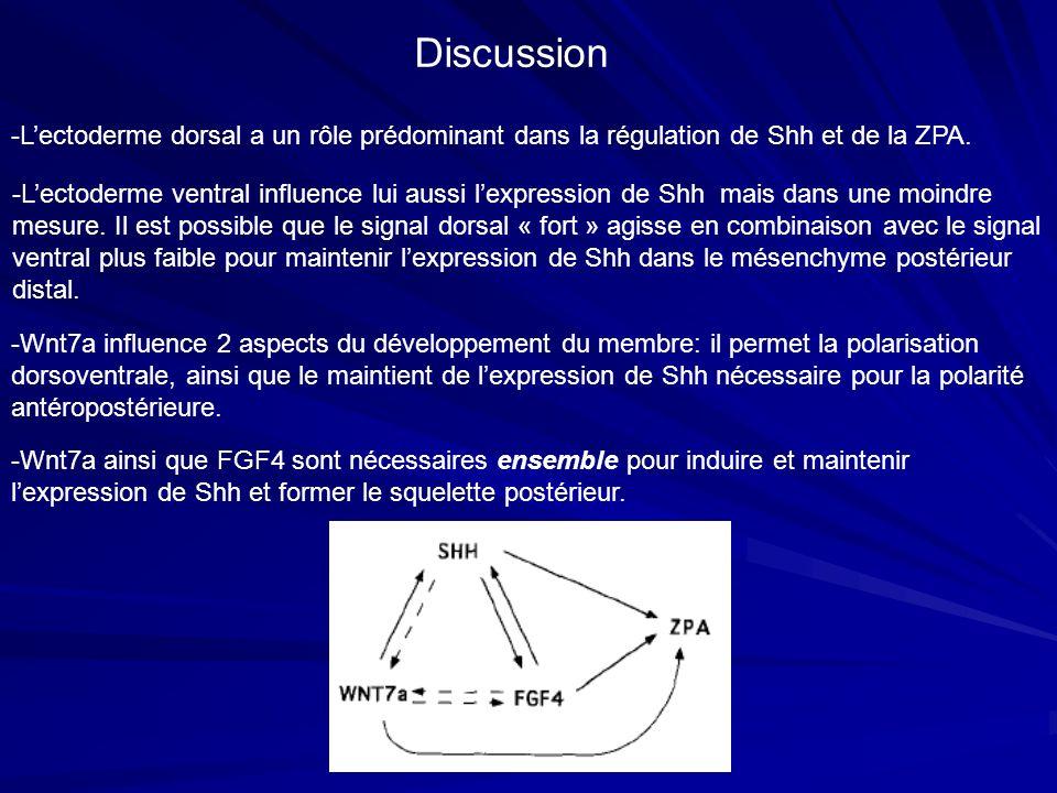 Discussion -L'ectoderme dorsal a un rôle prédominant dans la régulation de Shh et de la ZPA.