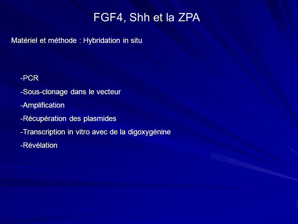 FGF4, Shh et la ZPA Matériel et méthode : Hybridation in situ -PCR