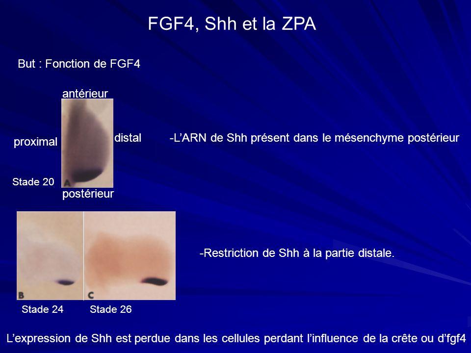 FGF4, Shh et la ZPA But : Fonction de FGF4 antérieur postérieur