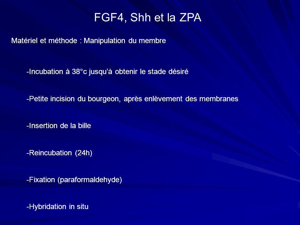 FGF4, Shh et la ZPA Matériel et méthode : Manipulation du membre