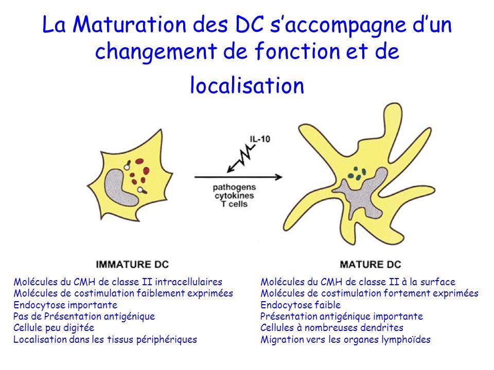 La Maturation des DC s'accompagne d'un changement de fonction et de localisation