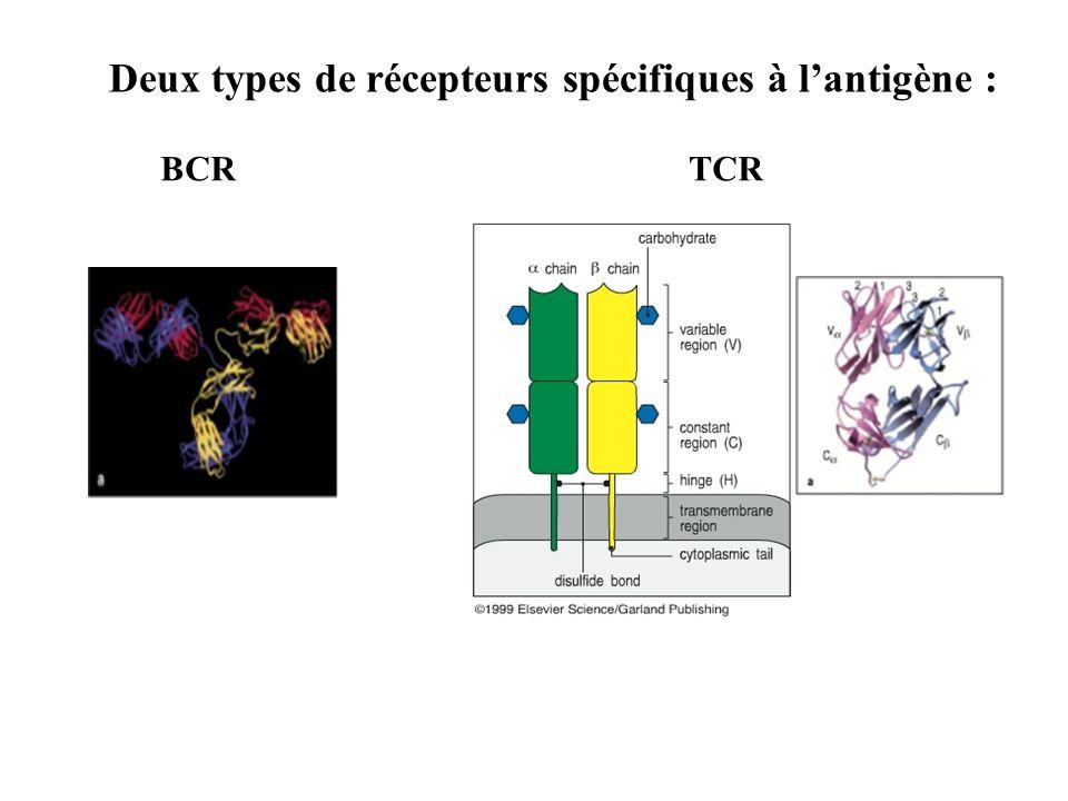 Deux types de récepteurs spécifiques à l'antigène :