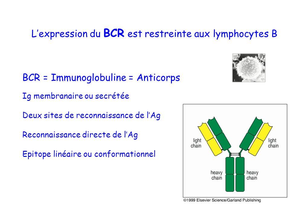 L'expression du BCR est restreinte aux lymphocytes B