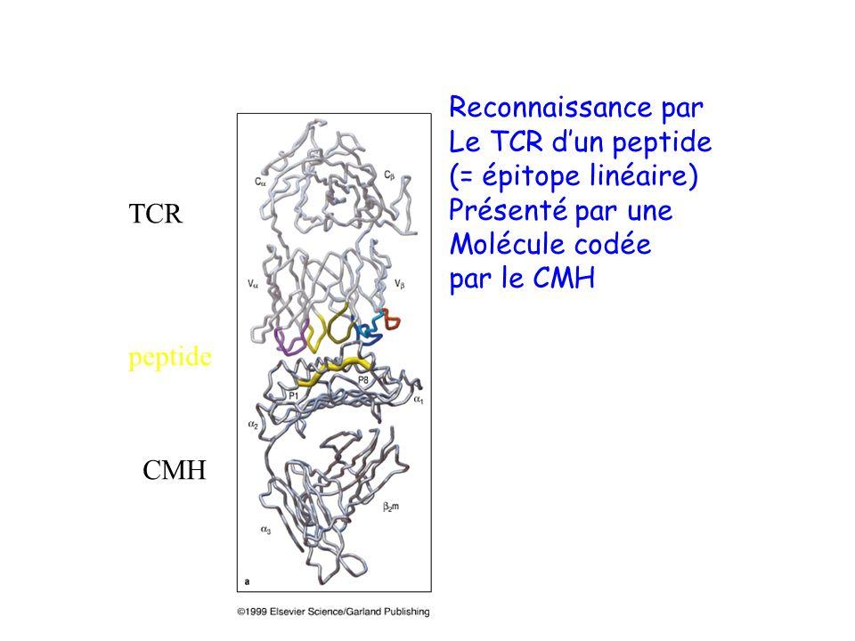 Reconnaissance par Le TCR d'un peptide. (= épitope linéaire) Présenté par une. Molécule codée. par le CMH.