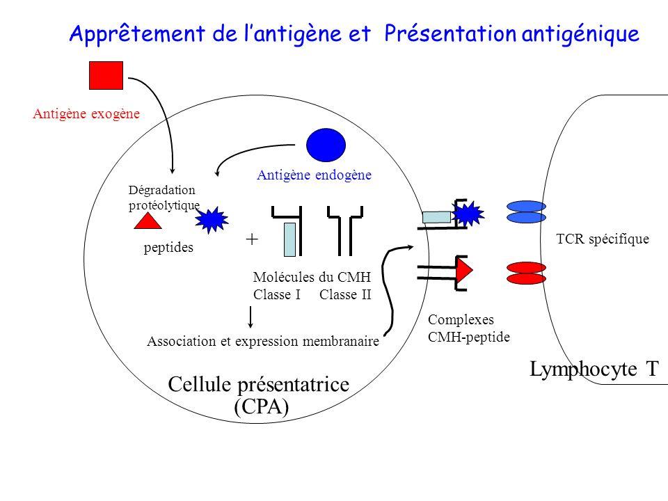 Apprêtement de l'antigène et Présentation antigénique