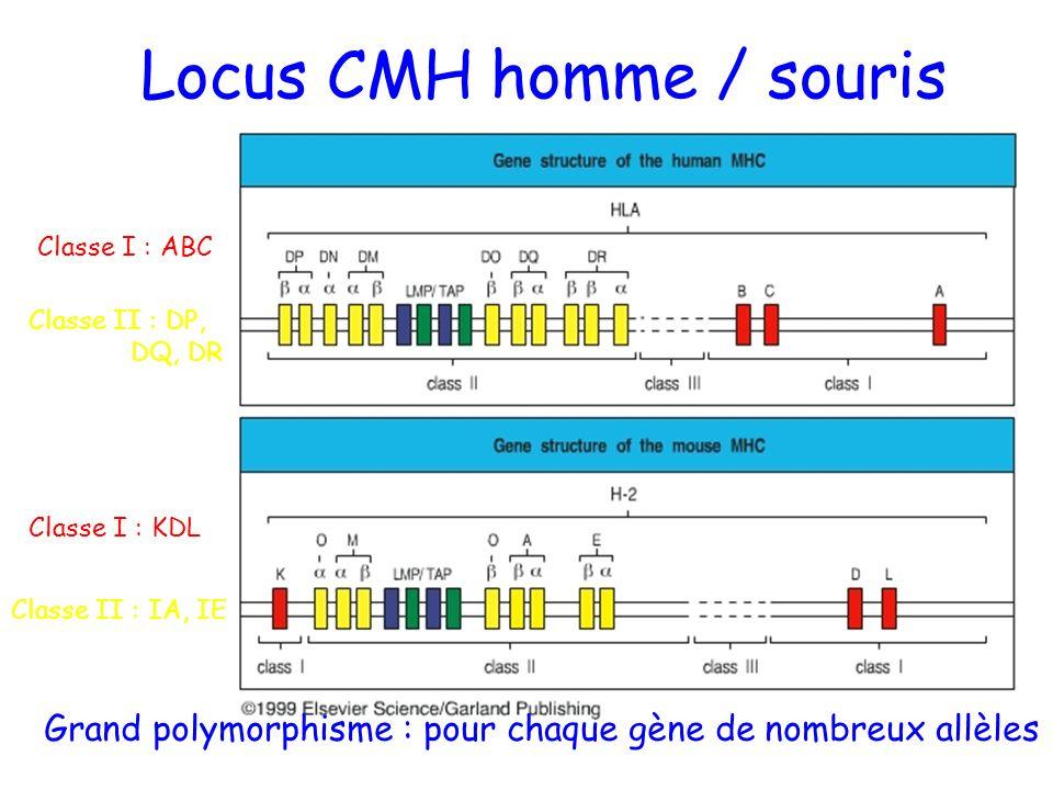 Locus CMH homme / souris