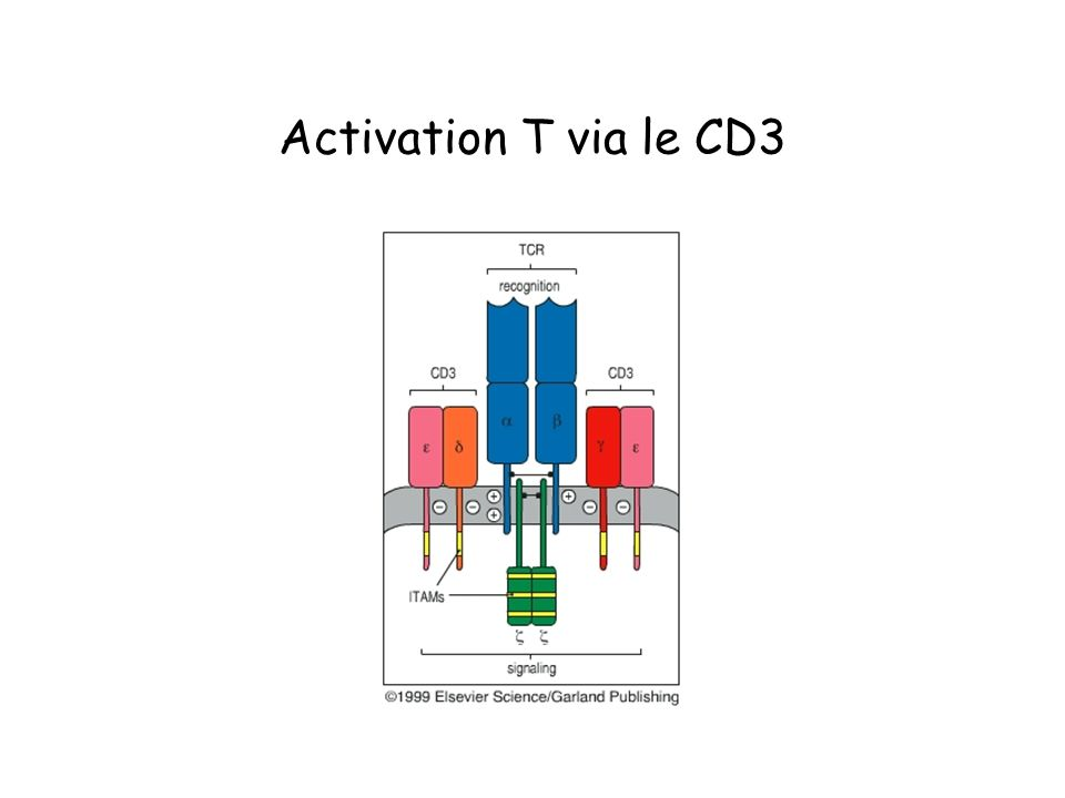 Activation T via le CD3