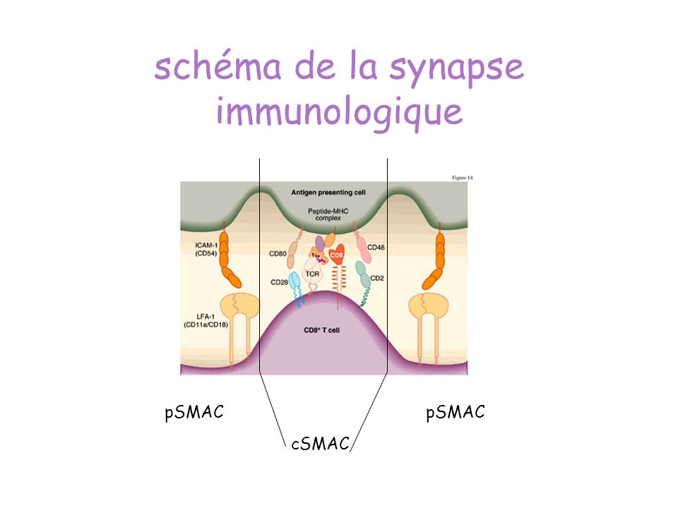 schéma de la synapse immunologique