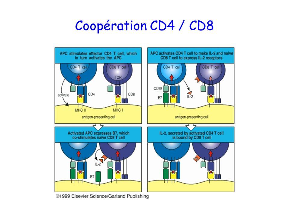 Coopération CD4 / CD8