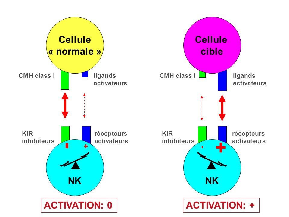 - + Cellule « normale » Cellule cible NK NK ACTIVATION: 0