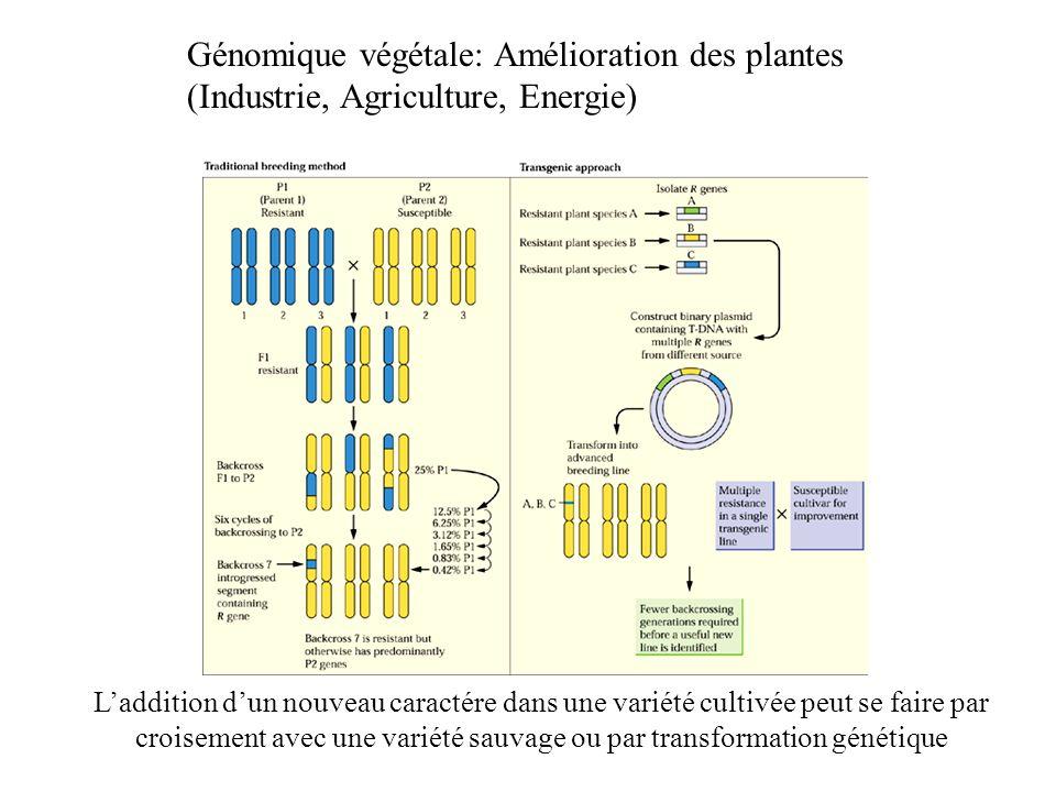 Génomique végétale: Amélioration des plantes