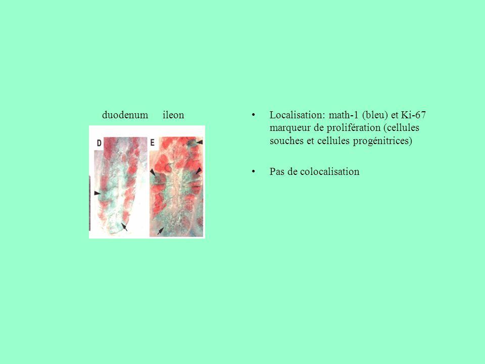 duodenum ileon. Localisation: math-1 (bleu) et Ki-67 marqueur de prolifération (cellules souches et cellules progénitrices)
