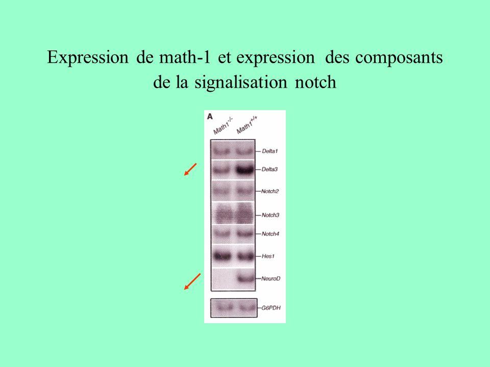 Expression de math-1 et expression des composants de la signalisation notch