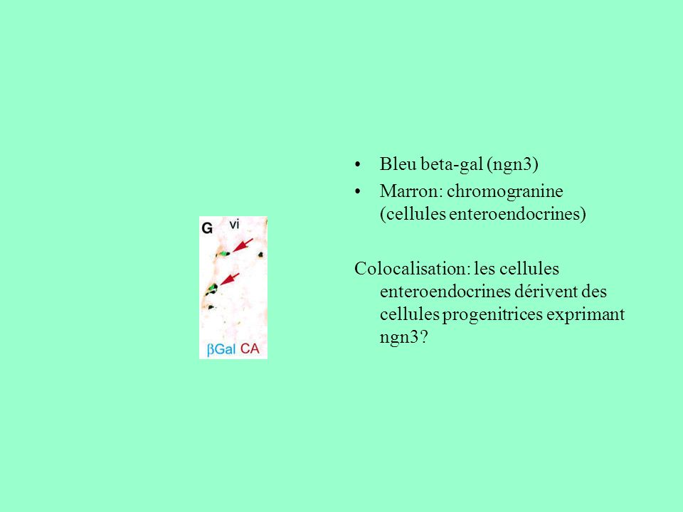 Bleu beta-gal (ngn3) Marron: chromogranine (cellules enteroendocrines)
