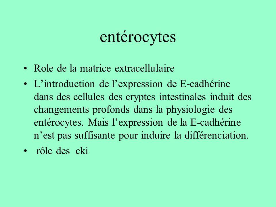 entérocytes Role de la matrice extracellulaire