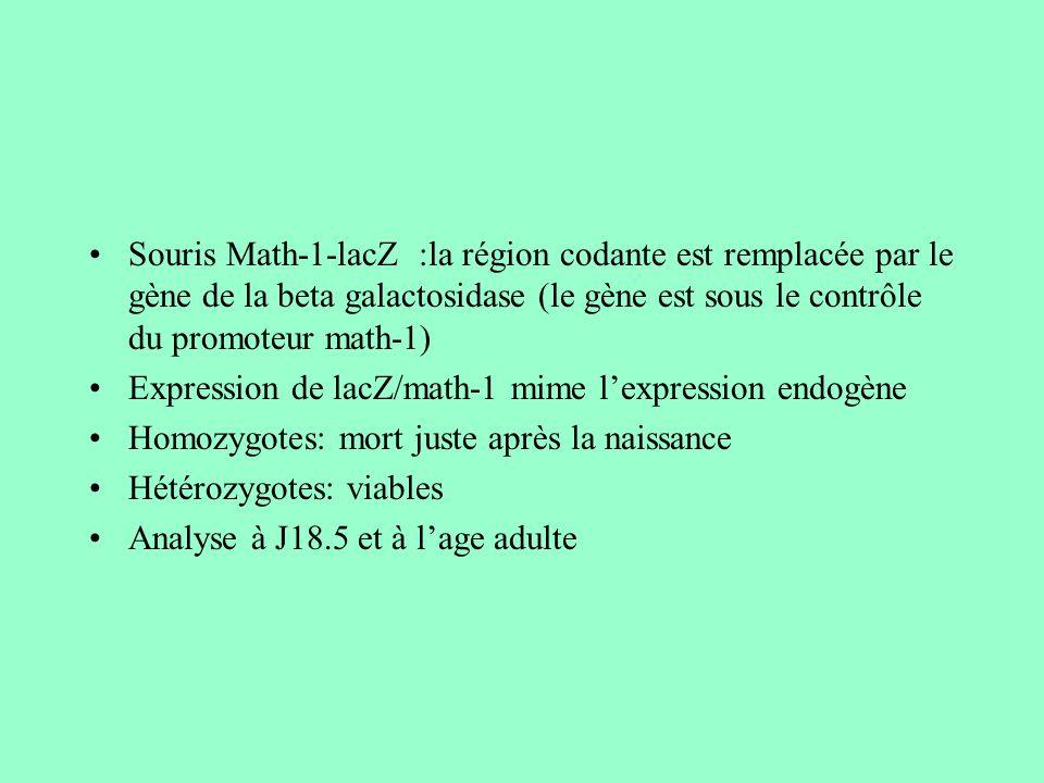 Souris Math-1-lacZ :la région codante est remplacée par le gène de la beta galactosidase (le gène est sous le contrôle du promoteur math-1)
