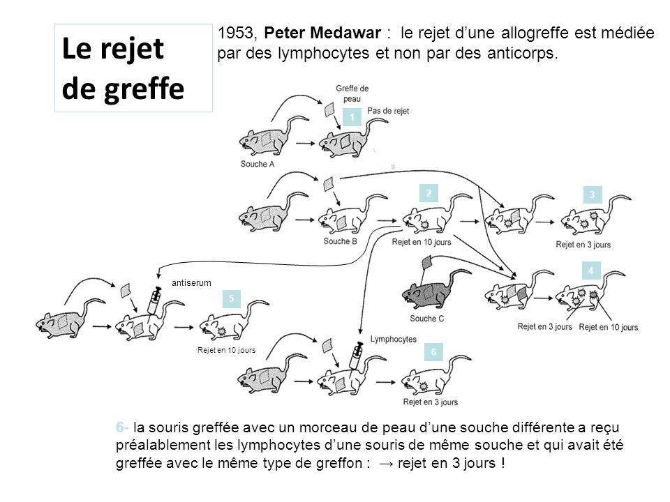 1953, Peter Medawar : le rejet d'une allogreffe est médiée par des lymphocytes et non par des anticorps.