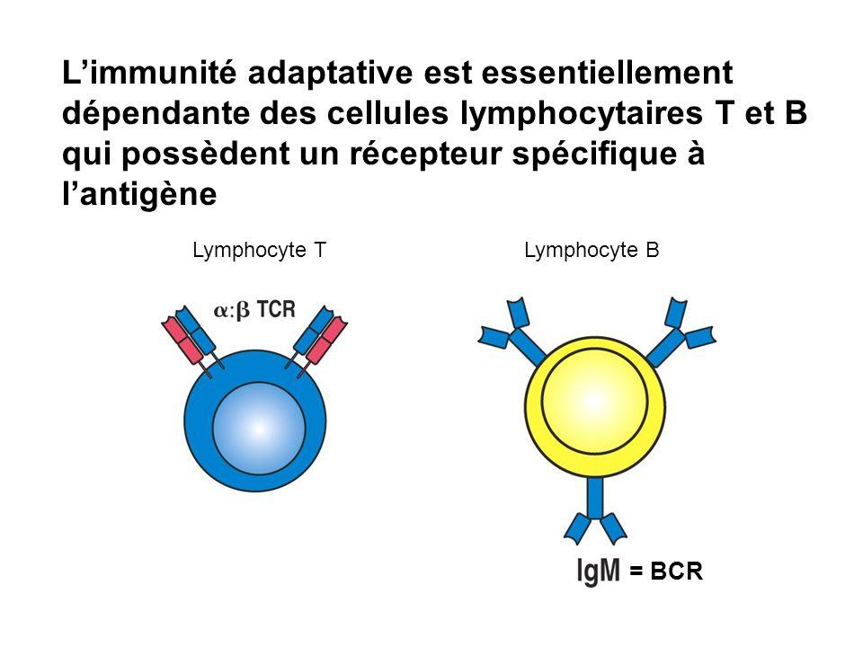 L'immunité adaptative est essentiellement dépendante des cellules lymphocytaires T et B qui possèdent un récepteur spécifique à l'antigène