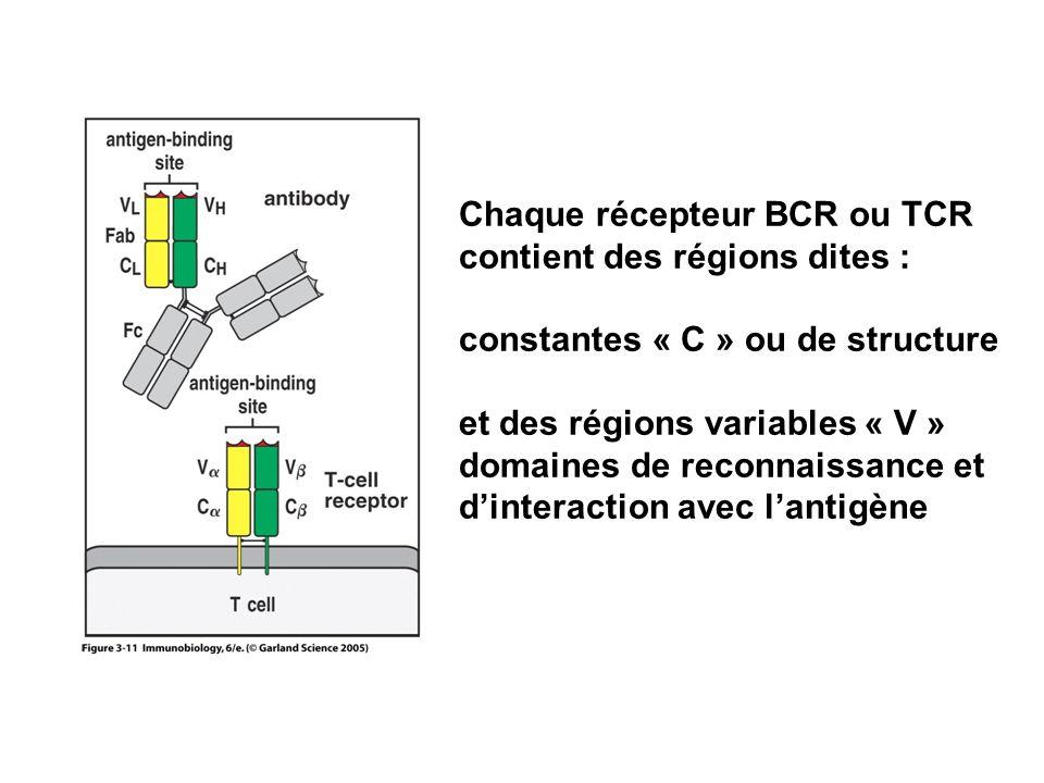 Chaque récepteur BCR ou TCR