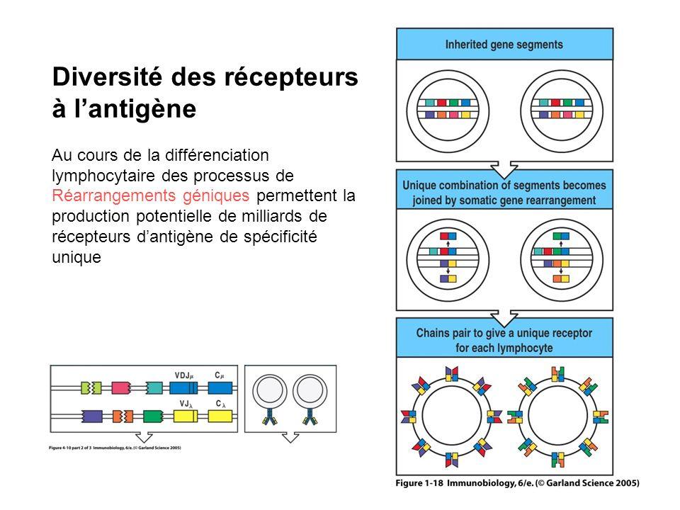 Diversité des récepteurs à l'antigène