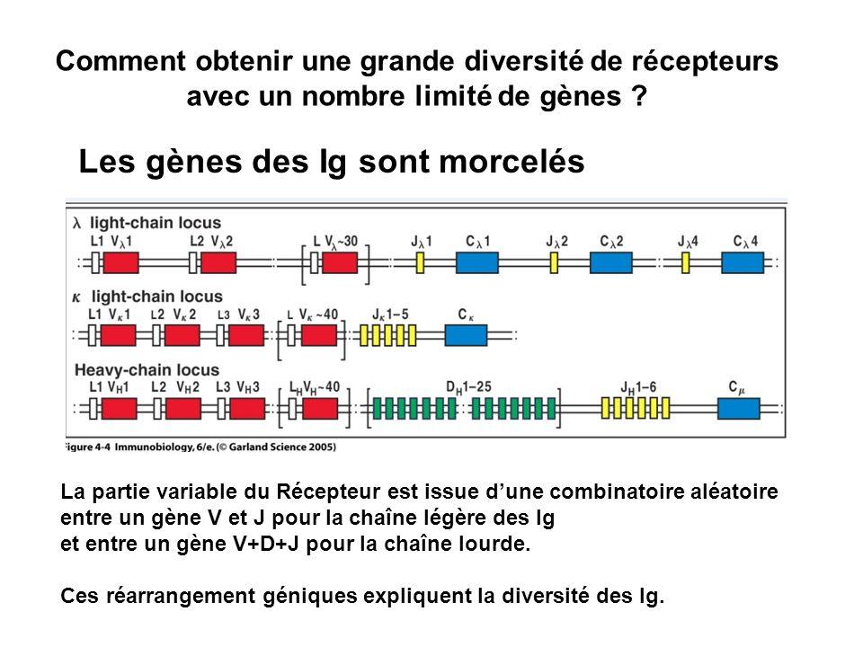 Les gènes des Ig sont morcelés