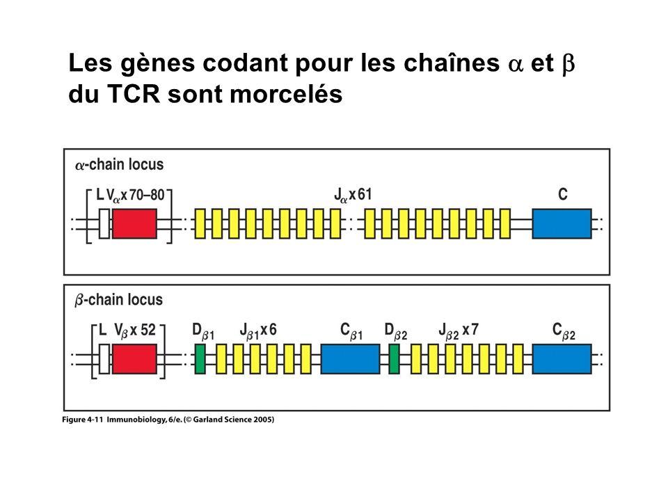 Les gènes codant pour les chaînes a et b du TCR sont morcelés
