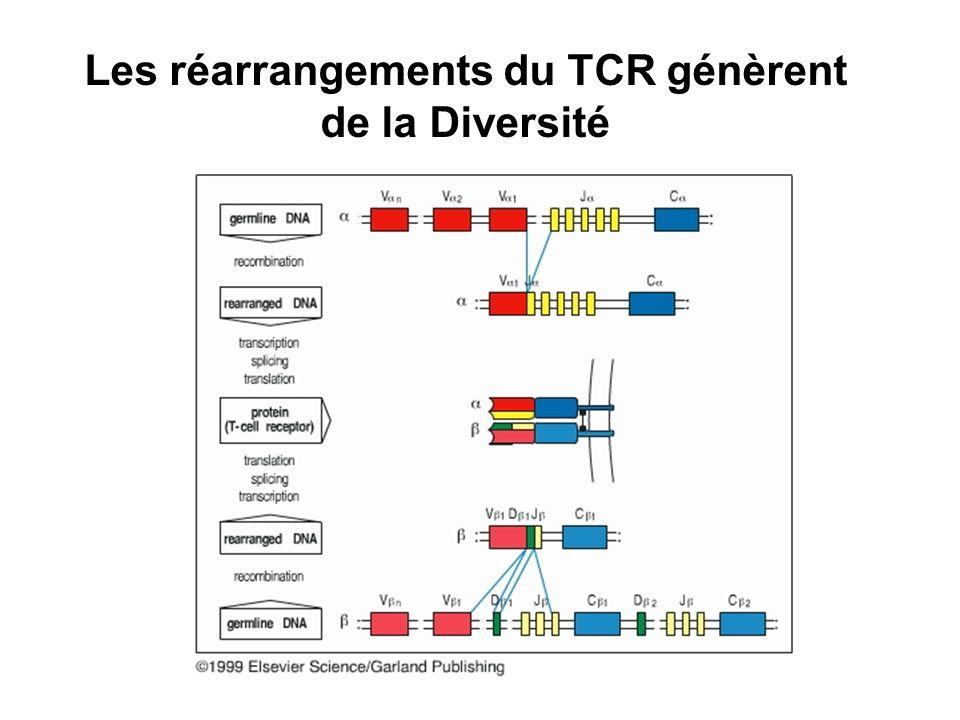 Les réarrangements du TCR génèrent de la Diversité