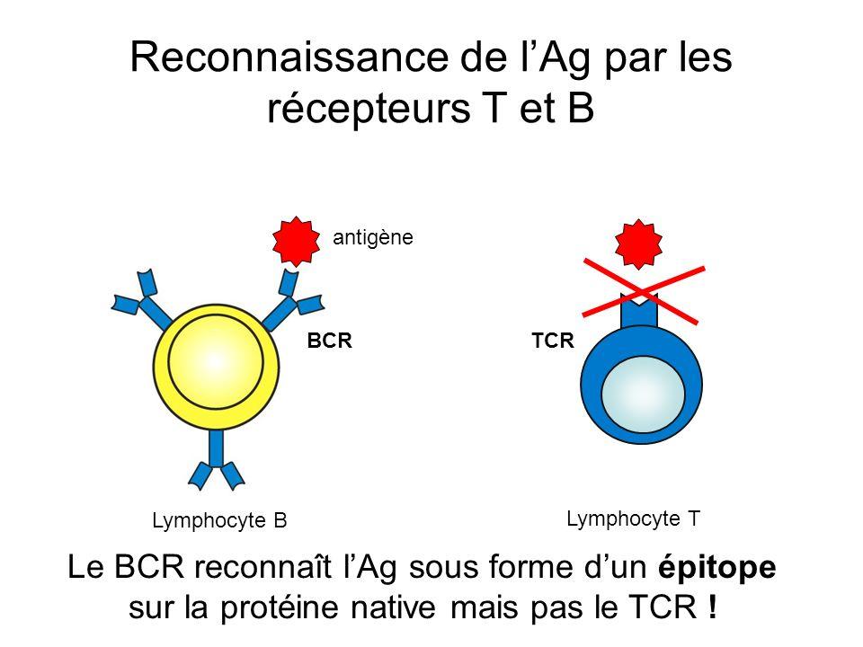 Reconnaissance de l'Ag par les récepteurs T et B