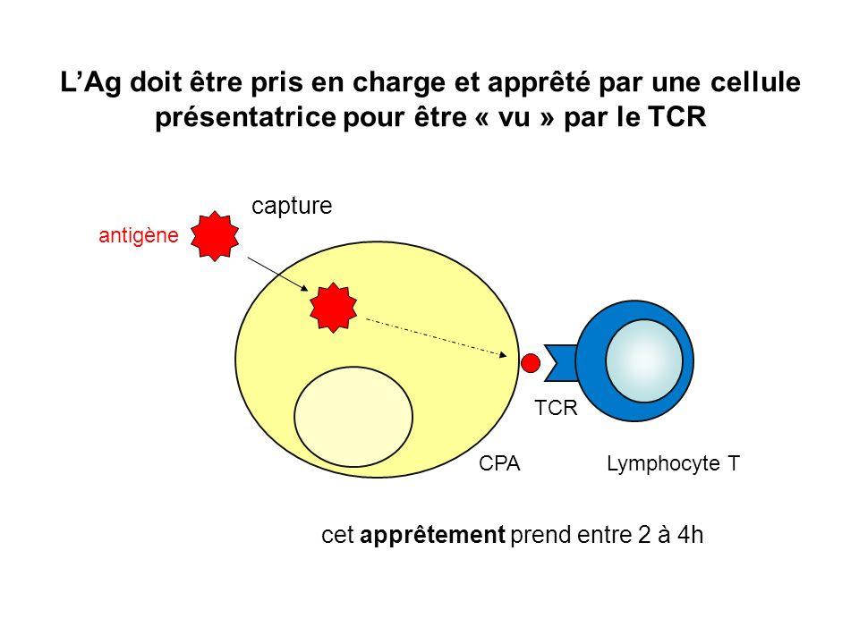 L'Ag doit être pris en charge et apprêté par une cellule présentatrice pour être « vu » par le TCR