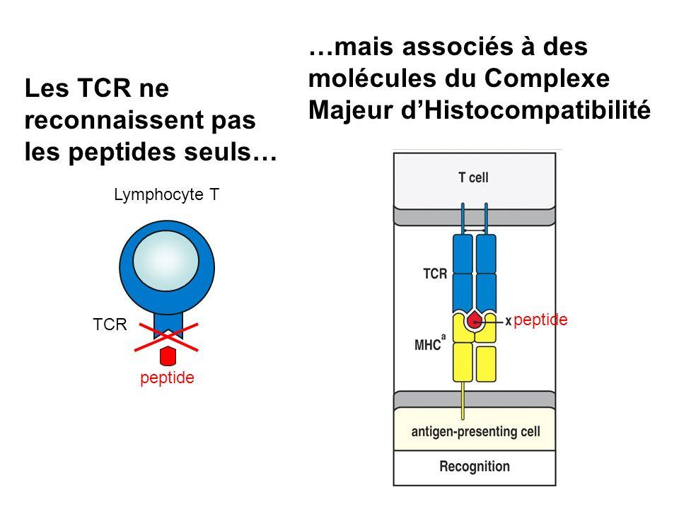 …mais associés à des molécules du Complexe Majeur d'Histocompatibilité