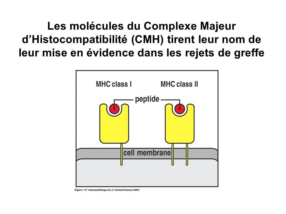 Les molécules du Complexe Majeur d'Histocompatibilité (CMH) tirent leur nom de leur mise en évidence dans les rejets de greffe