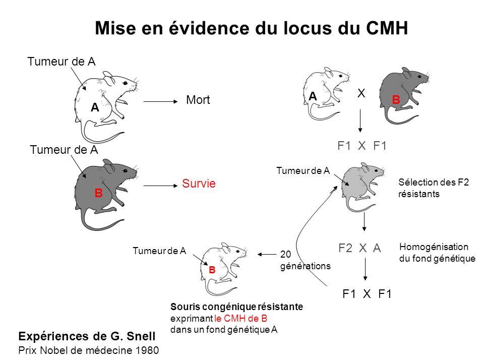 Mise en évidence du locus du CMH