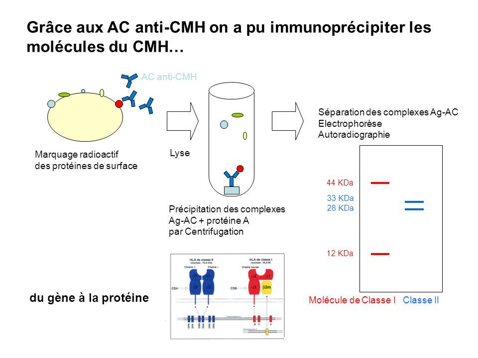 Grâce aux AC anti-CMH on a pu immunoprécipiter les molécules du CMH…