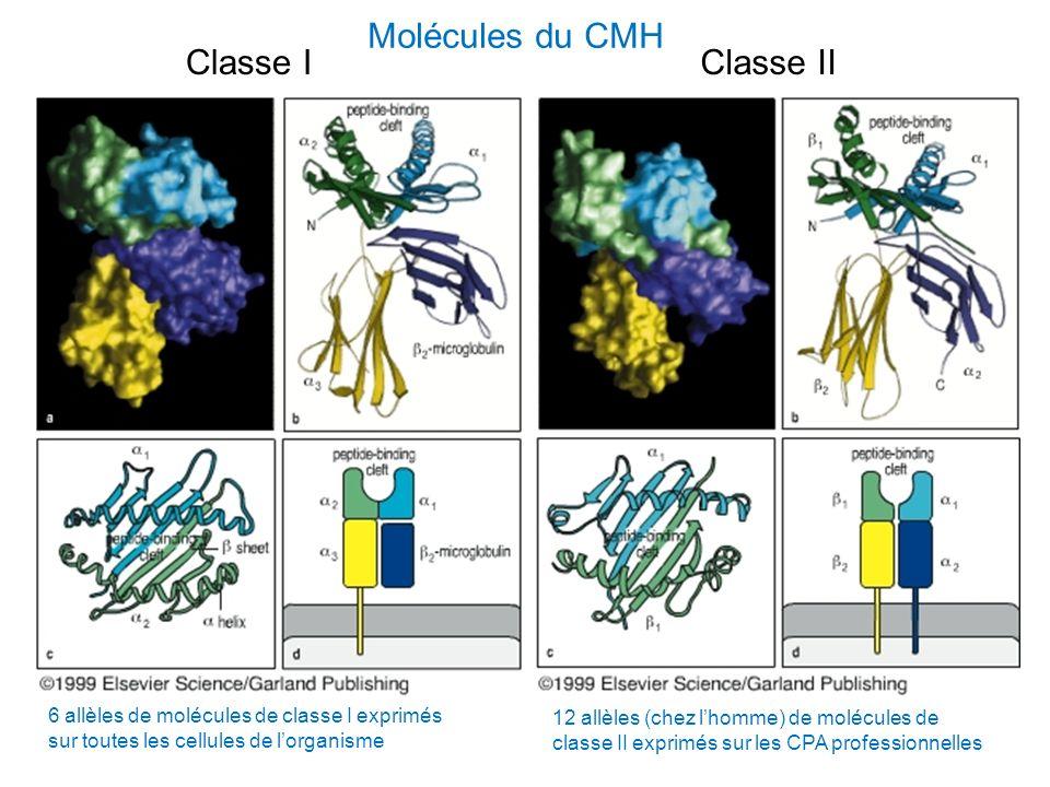 Molécules du CMH Classe I Classe II