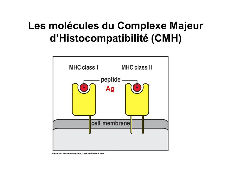 Les molécules du Complexe Majeur d'Histocompatibilité (CMH)