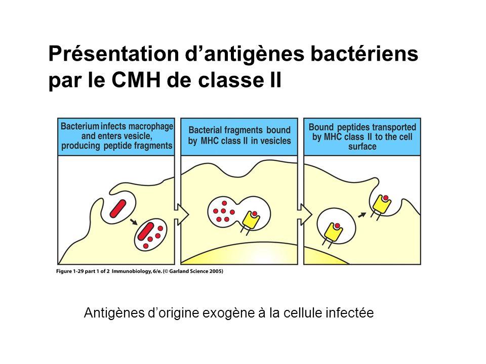 Présentation d'antigènes bactériens par le CMH de classe II