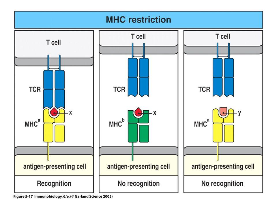 Le TCR reconnait à la fois le peptide et pas n'importe lequel et une molécule du CMH et pas n'importe laquelle