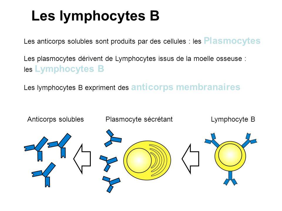 Les lymphocytes B Les anticorps solubles sont produits par des cellules : les Plasmocytes.