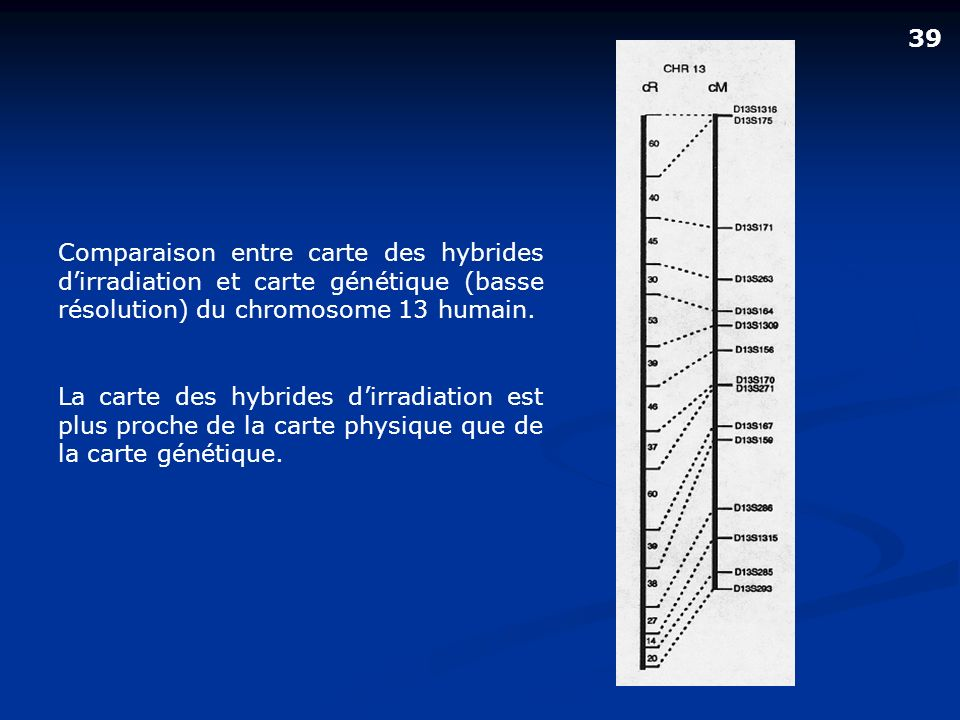 39 Comparaison entre carte des hybrides d'irradiation et carte génétique (basse résolution) du chromosome 13 humain.
