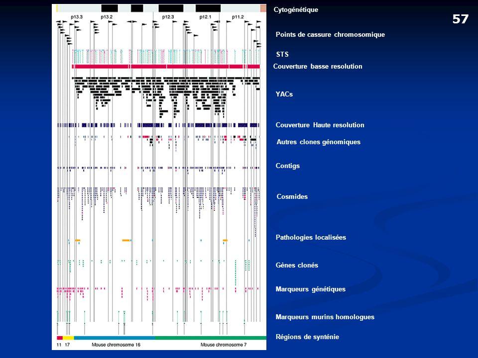 57 Cytogénétique Points de cassure chromosomique STS