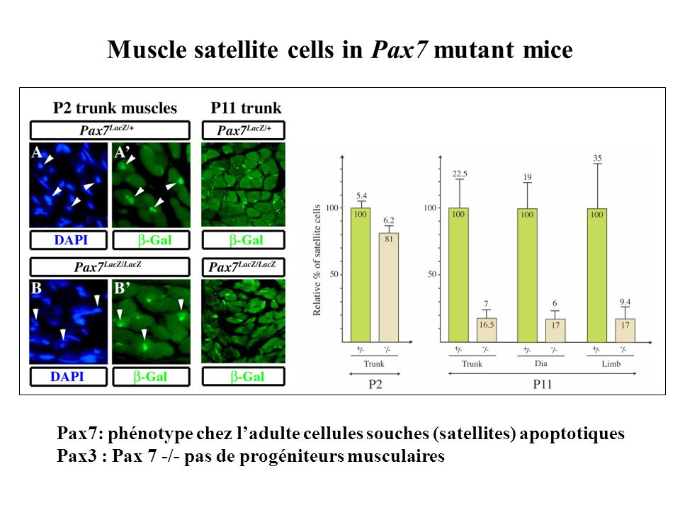 Muscle satellite cells in Pax7 mutant mice