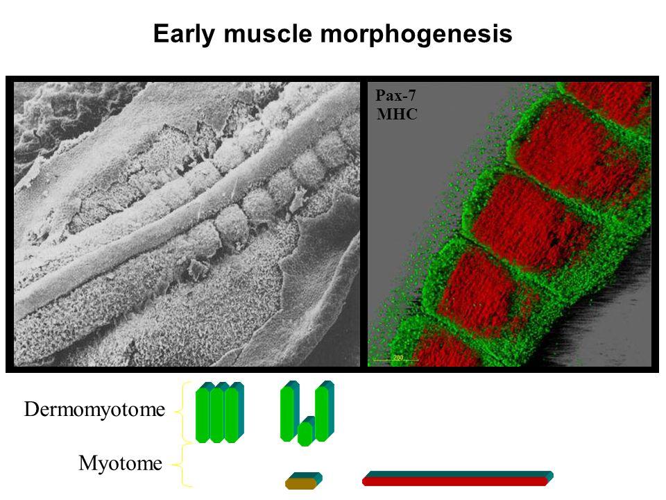 Early muscle morphogenesis
