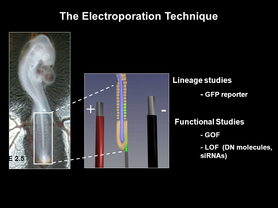 The Electroporation Technique