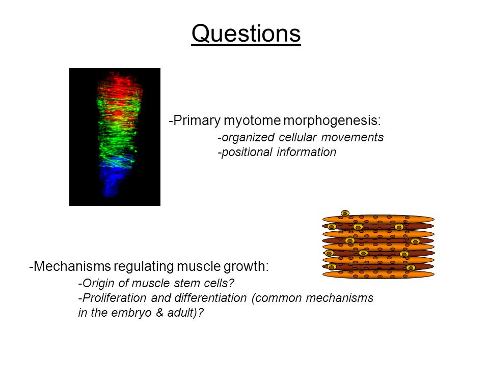 Questions -Primary myotome morphogenesis: