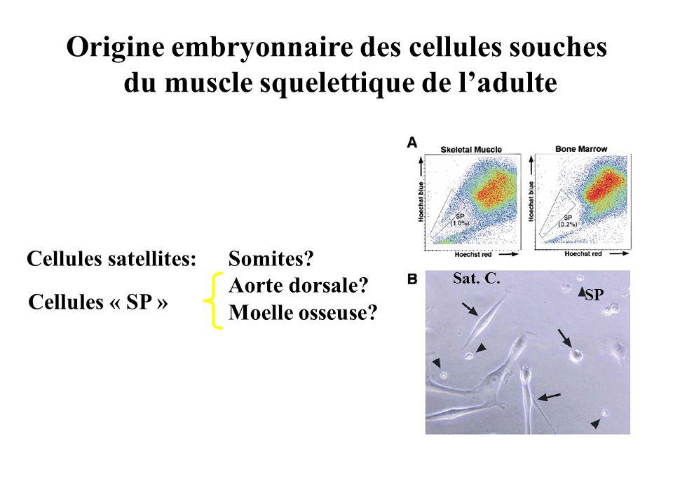 Origine embryonnaire des cellules souches