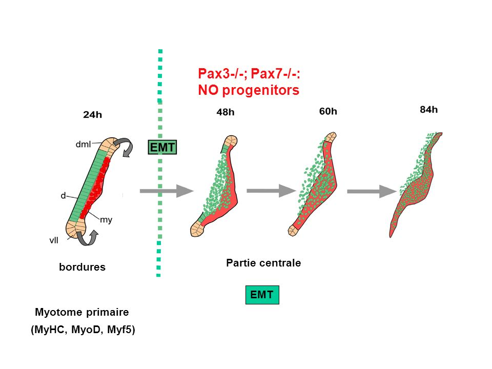 Pax3-/-; Pax7-/-: NO progenitors Partie centrale bordures EMT
