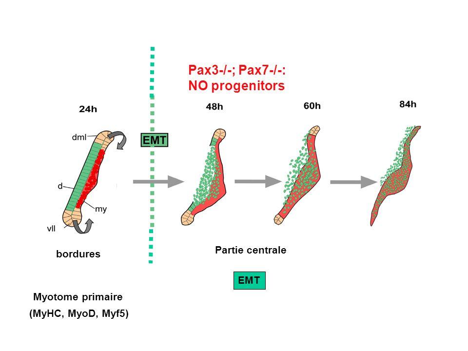 Pax3-/-; Pax7-/-: NO progenitors Partie centrale bordures EMT