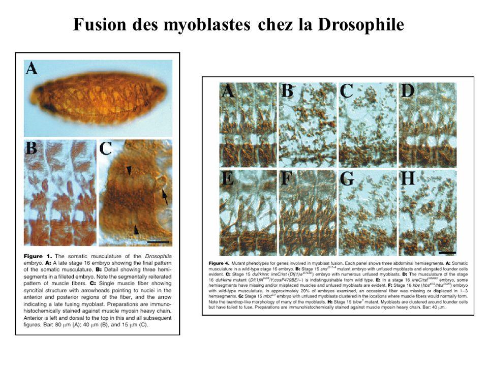 Fusion des myoblastes chez la Drosophile